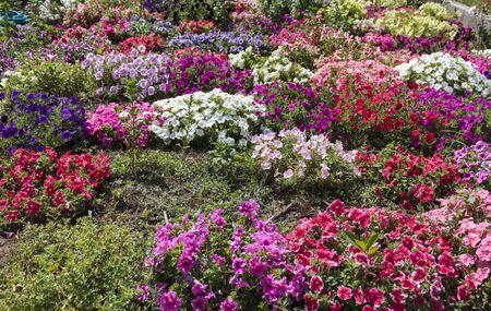 Colorful Morning Glory (Ipomoea tricolor) flowers Фото со стока
