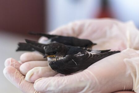 Hands holding two baby swallows Stok Fotoğraf