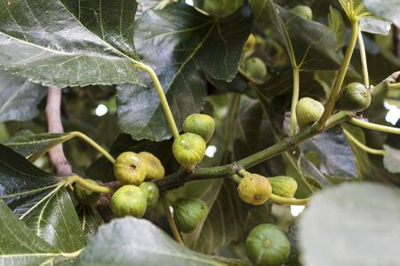 Figs on the branch of a fig tree Stok Fotoğraf