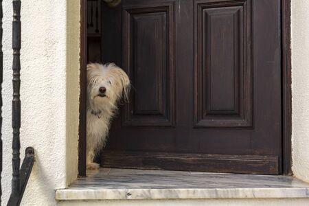 White Dog peeking in door of the house Stok Fotoğraf