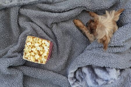 Top view of popcorn box and mini yorkshire terrier dog on fluffy blanket Stock Photo