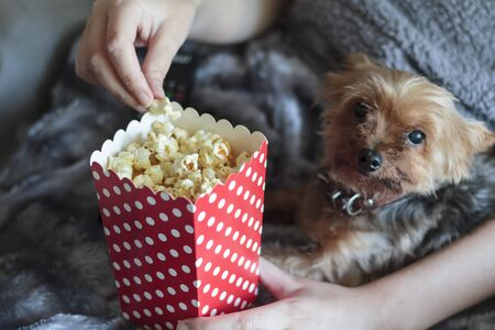 Woman eating popcorns wrapped on warm blanket with yorkshire terrier dog Reklamní fotografie