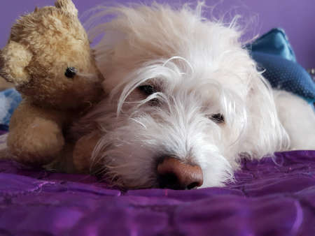 Sweet Dog lying with his teddy bear