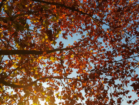 Tree autumn leaves and blue sky