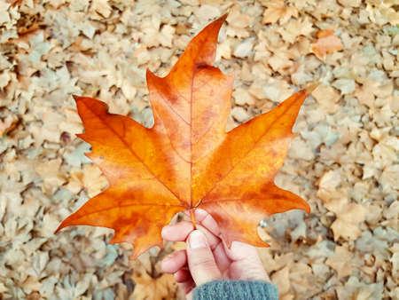 Woman holding autumn maple leaf