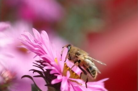 Bee on flower (macro) photo