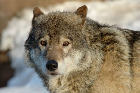 lupus: Timber Wolf (Canis lupus)