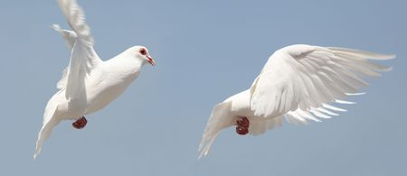 high flier: dove fly in air  Stock Photo