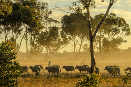 australia farm: Sheep walk along fence at sunset Stock Photo