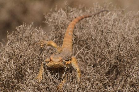 bearded dragon lizard: Bearded dragon lizard hiding in bush