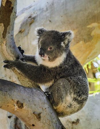 australian ethnicity: Cute Koala sits on eucalyptus tree Australian bush wildlife animal