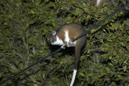 Possum at night