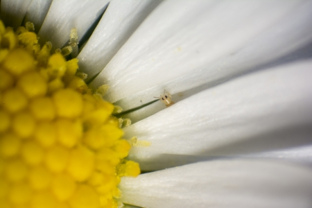 aphid: Super macro of Aphid hiding on small Daisy Stock Photo