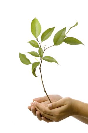 Isolated hands holding a new tree with green leaves photo