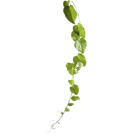 Isolated vine plant stem with green leaves