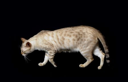 spotted: Adult snow spotted bengal cat isolated on black
