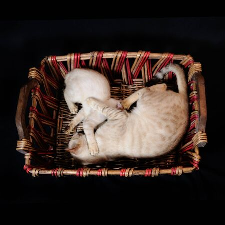 Portrait of two cats playing on a basket - isolated photo