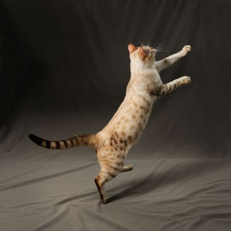 spotted fur: Portrait of snow spotted bengal cat jumping Stock Photo