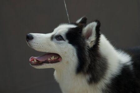 piebald: Picture of a piebald siberian husky head Stock Photo