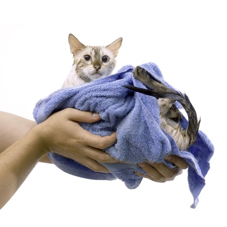 towels bath: Hands holding a wet cat in a towel after bath - isolated Stock Photo