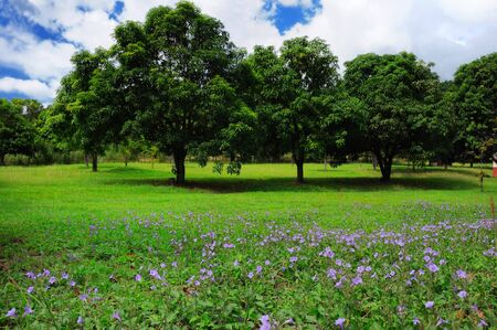 Three mango trees on green field with wildflowers