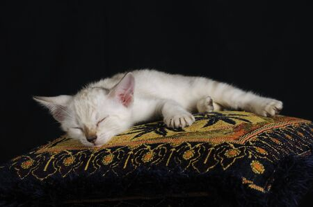 Portrait of white bengal cat sleeping on a pillow photo