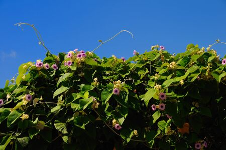 rosewood: Tropical plant vine Hawaian rosewood baby against blue sky
