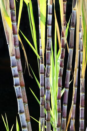 Detail of sugar cane plants isolated over black background