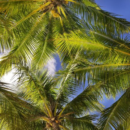 Tropical background of colorful coconut palm leaves against blue sky photo