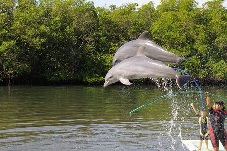 varadero: VARADERO, CUBA - DEC 7TH, 2008. Two trained dolphins jumping in the Varadero Aquarium show. Taken on december 7th, 2008 in Varadero, Cuba. Editorial