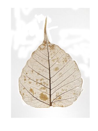 dried leaf: Dried leaf  ficus religiosa  skeleton isolated over white