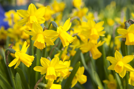 Garden of beautiful yellow daffodils - narcissus flowers