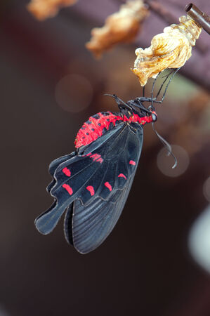 New born common rose butterfly (Pachliopta aristolochiae goniopeltis) with cocoon  photo
