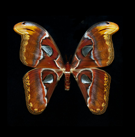 giant moth: Close up of the attacus atlas butterfly isolated on black background Stock Photo