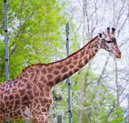 Detail of giraffe neck and head in toronto zoo