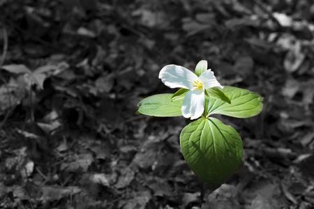 trillium: White trillium flower growing in the forrest