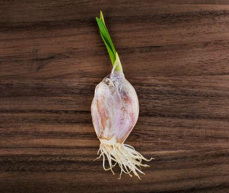 raíz de planta: Bulbo del ajo brota con raíces sobre fondo de madera