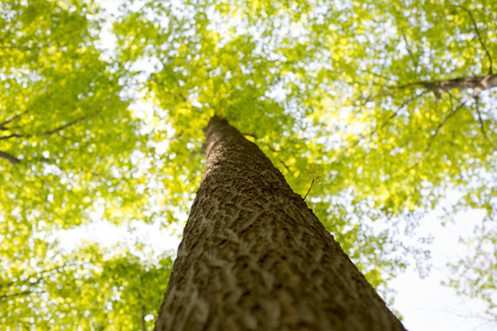 acer: View from below of a maple tree trunk with branches spreading out Stock Photo