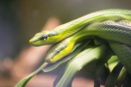 reproducing: Two Red-tailed Green Ratsnakes mating or reproducing.