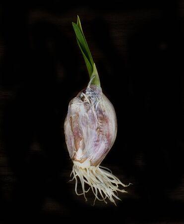 raíz de planta: Detalle de la cabeza de ajo brotado sobre fondo negro Foto de archivo