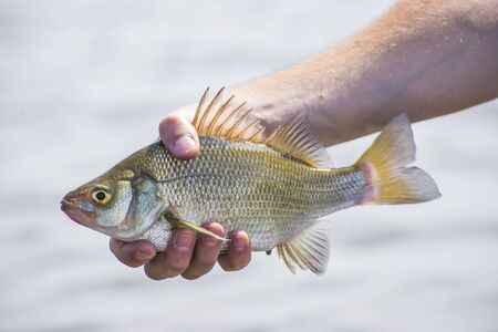 fish water: A freshly caught freshwater drum fish in lake Erie, Ontario, Canada.