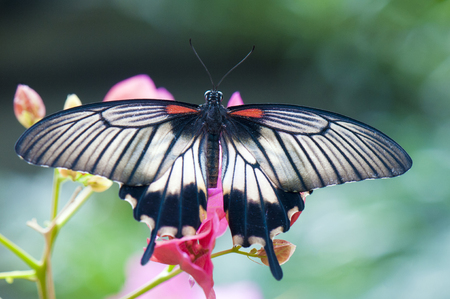 mormon: Female great mormon butterfly (Papilio memnon agenor) perching on pink flower Stock Photo