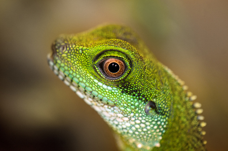 a close up: Close up detail of a green water dragon eye