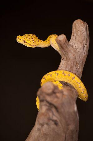 smal: Juvenile Green Tree Python (Morelia viridis) in the yellow phase