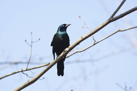 provincial forest parks: Male Common Grackle Quiscalus quiscula perching on a tree - Ontario, Canada Stock Photo