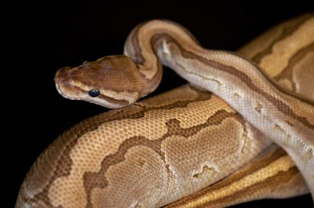serpiente cobra: Bola Python - Python regius, aislado en un fondo negro.