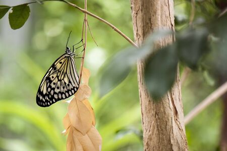 folliage: Detail of large tree nymph butterfly Idea leuconoe aka paper kite or rice paper butterfly Stock Photo
