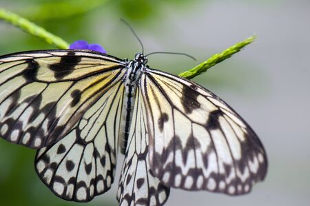 tree detail: Detail of large tree nymph butterfly (Idea leuconoe) aka paper kite or rice paper butterfly