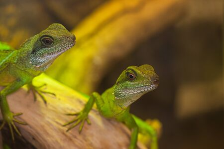 reptiles: Couple of small reptiles pet - green water dragons