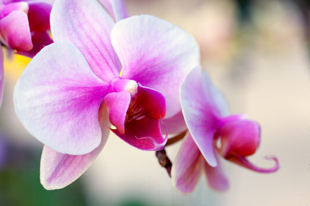 Close up of white and pink orchid flower stem